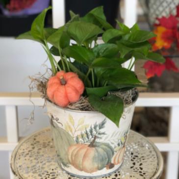 Pumpkin Pothos 6in houseplant