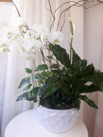 Pure and White Orchid Plant