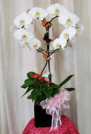 Pure White Heart Orchid  Plant