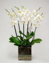 PURE WHITE ORCHID IN SG GLASS