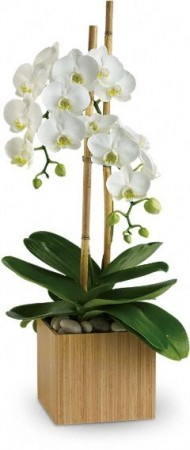 Pure  White Orchid