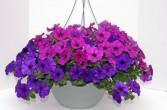 Purple and Pink Hanging Basket