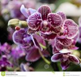 purple and white phalaenopsis orchard