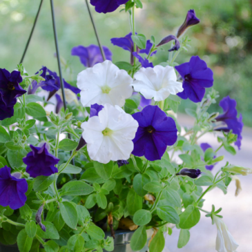 Purple and white Wave Petunia hanging Basket Mother's Day