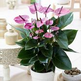 Purple Antherium Plant