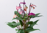 Purple Anthurium Plant Wrapped with a bow