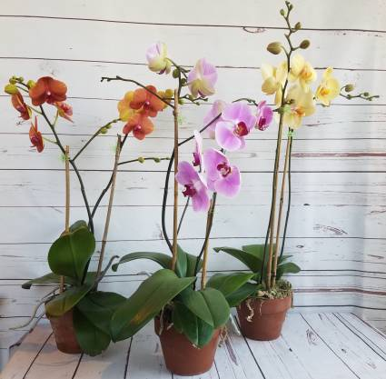 Phalaenopsis Orchid ASSORTED COLORS  plant