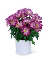 Purple Daisy Chrysanthemum Plant Plant