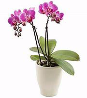 Purple Double Orchid Dendrobium Orchid