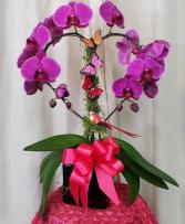 Purple Heart Orchid Plant