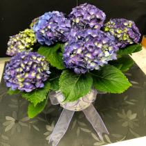 Purple Hydrangea Plant Easter Plant