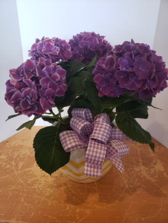 Purple hydrangea with ceramic pot Plant
