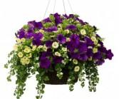Purple Love Hanging Basket