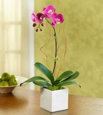Purple Majestic Orchid EF35
