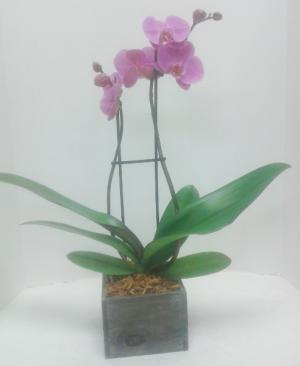 Pastel Orchid  in Tottenham, ON   TOTTENHAM FLOWERS & GIFTS