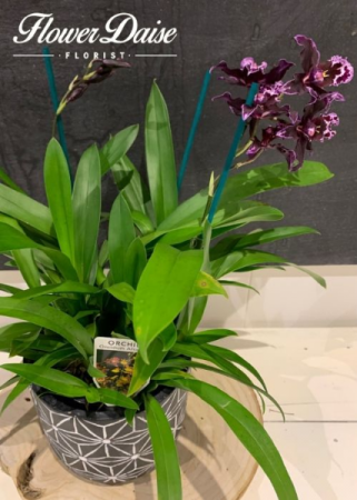 Purple Orchid Plant in Ceramic Container