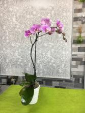 Purple Orchid Plant  Orchid Plant