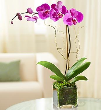 Purple Orchid Plants