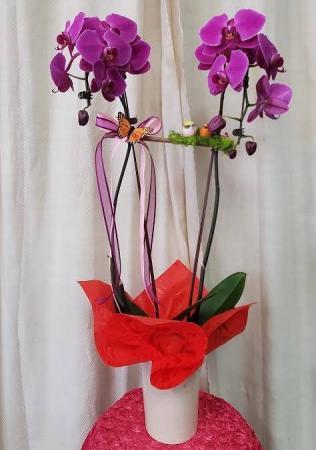 Purple passion orchid  Plant