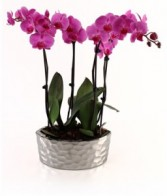 Purple Passion Orchids Valentines Day