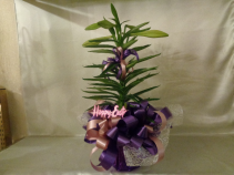Purple Passion Lily Plant