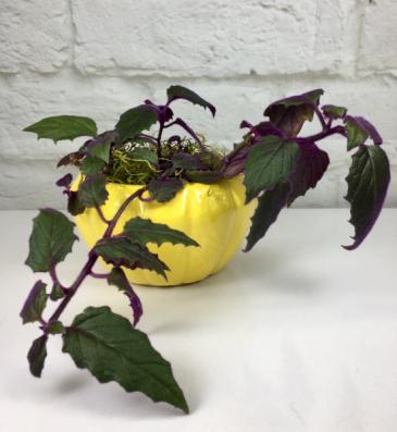 Purple Passion  Unique House Plant
