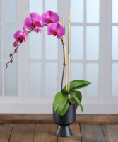 PURPLE PHALAENOPSIS ORCHID IN DECOR CONTAINER