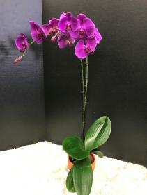 Purple Phalaenopsis Orchid Orchid Plant
