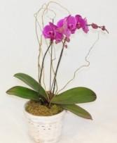 Purple Phalaenopsis Orchid Plant