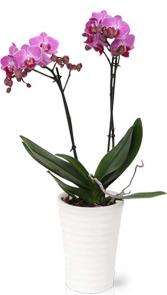 Purple Phalaenopsis Orchid Plant  Plant