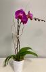 Purple Phalenopsis Orchid Flowering Plant