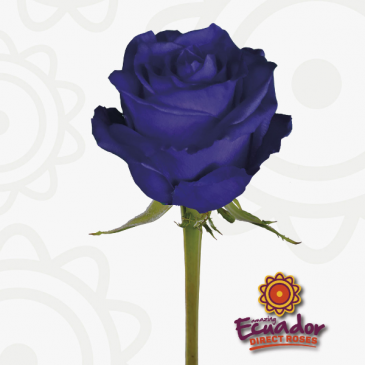 Purple Rose Rose