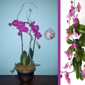 Purple Waterfall Orchid  Plant