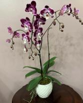 Purple Zebra Phalaenopsis Orchid