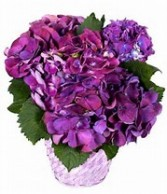 Purple/Blue Hydrangea Plant