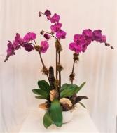 Quad Orchid  Plant