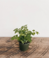Radermachera Sinica, China Doll Plant Plant