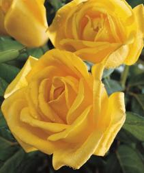Radiant Perfume 5 gallon - Grandiflora