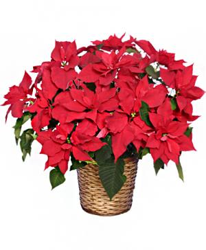Radiant Poinsettia  Blooming Plant in Rock Hill, SC | Ribald Events - Florals, Rentals, & Event Planning