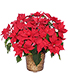 Radiant Poinsettia  Blooming Plant