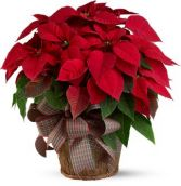 Large Radiant Red Poinsettia  Red Poinsettia for Christmas