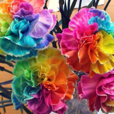 Rainbow Carnations  *SOLD OUT*