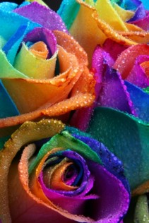6 Rainbow Roses 6 Rainbow Roses wrapped