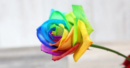 Rainbow Roses Wrapped