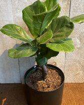 Rare Fiddle Leaf Ficus Bonsai plant 10 inch diameter