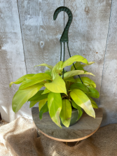 *Rare* Lemon Lime Philodendron Plant in Hanging Basket