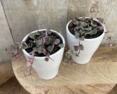 *Rare* Variegated String of Hearts Plant
