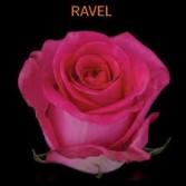Ravel Hot Pink