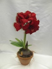 Red Amaryllis Blooming Plant