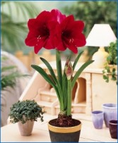 RED AMARYLLIS  PLANT